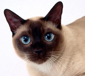 暹罗猫|西母猫,泰国猫