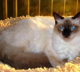 巴厘猫|长毛暹罗猫,爪哇猫