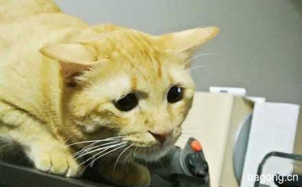 哈哈,这只猫一用逗猫棒  瞬间变身梁朝伟2