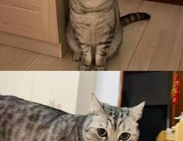 猫咪 美短 名字hiro 公猫 3岁 已...
