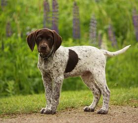 波音达犬|指示犬,波音达,德国短毛犬
