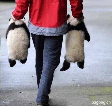 世界上最容易被抱大腿的工作:熊猫驯养师。15