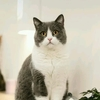 蓝白母猫,一岁,没有绝育我家蓝...