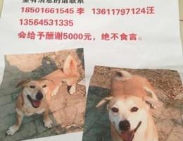上海市闸北区万荣路龙盛雅苑狗狗走失!