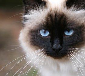 伯曼猫|波曼猫,巴曼猫,缅甸...