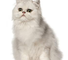 波斯猫|波斯猫儿|波丝