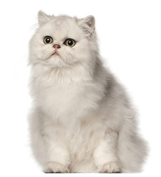 Cute Cuddly Cat Breeds
