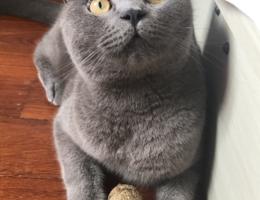 急急急!!!寻找爱猫  英短蓝...