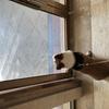两岁柯基宠物送人!家庭环境不允许再养宠物