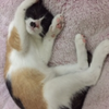 白黄黑田园家猫,母,8个月大,...
