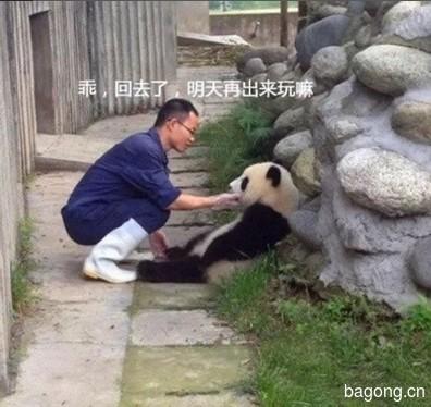 世界上最容易被抱大腿的工作:熊猫驯养师。11
