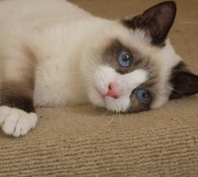 雪鞋猫|雪鞋猫
