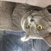 本人在石岩捡到一只英短蓝猫,请...