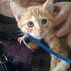 约2个月虎班黄色小公猫求领养