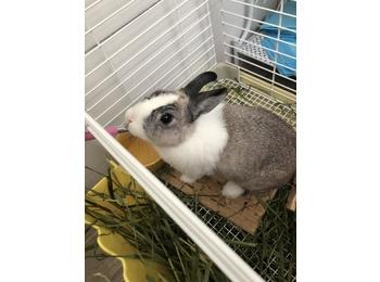 两只侏儒兔求领养
