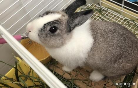 两只侏儒兔求领养0