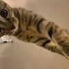 四个月狸花猫,母,健康活泼,求爱猫人家领养,上海范围都可以