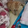 橘猫,粘人,找领养