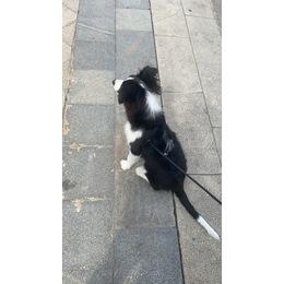 一只母狗,叫波比,背后有一撮白...