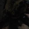 宠物泰迪犬