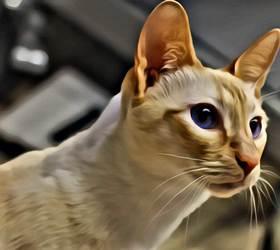 重点色短毛猫|重点色|端子色短毛猫