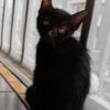 广州西村附近三个月小黑家猫求领养
