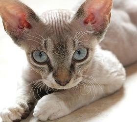 德文卷毛猫|德文帝王猫,王猫