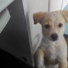 北京小奶狗找领养公 已经驱虫免疫 两个月多