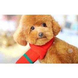 想领养一只小泰迪犬或茶杯犬 兔子、龙猫、仓鼠也可以...