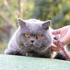 英国短毛猫:巨蛋
