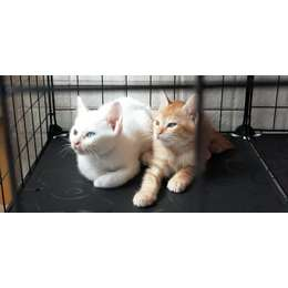 白色猫咪,狸花猫,四个半月左右,右后腿有一点小伤