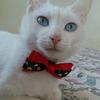 可爱白色猫咪蓝眼短毛找家