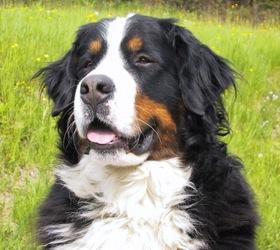 伯恩山犬|瑞士伯恩山犬,伯尔尼兹山地犬