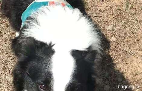 边牧狗狗 1岁5个月,干净卫生1