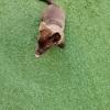 我们有一只拉布拉多混母犬,4个月,非常活泼,希望有好人家领养