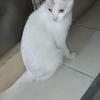 今晚楼下有一只大的白色猫咪,如果明天还在的话,可以帮忙领养走