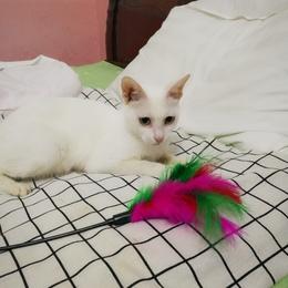 田园白猫待领养,已绝育,接受指定猫粮和封网的来