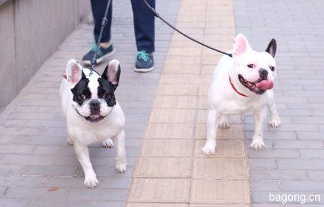 北京四月龄家养标体法斗男孩求领养,三元桥看狗4