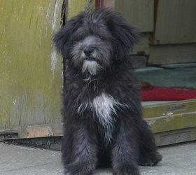 拉萨犬|西藏犬,拉萨狮子犬,西藏梗