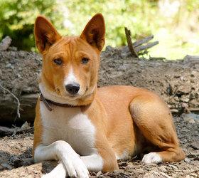巴仙吉犬|刚果犬,贝森吉犬,贝仙吉犬