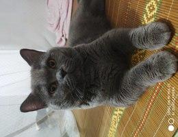 猫咪叫肥仔,绝育公猫,中等体型...