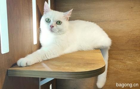 (只限海口无偿,外地付空费600元)我是一只纯白英短母猫,找一个爱我的主子……0