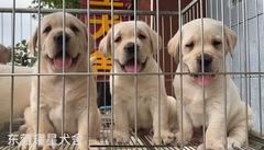 :HI,我们是耀星犬舍的拉布拉多宝宝,我们来自广东东莞