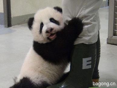 世界上最容易被抱大腿的工作:熊猫驯养师。6