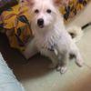 超级粘人乖巧白白的狗