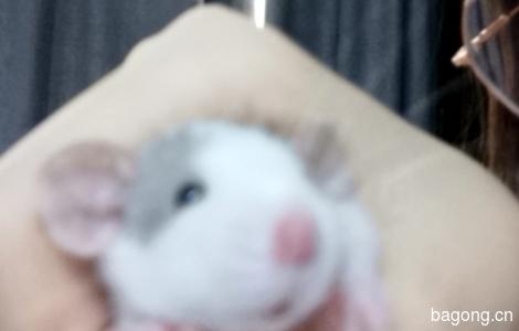 一只超乖的花枝鼠,找有爱心的领养人2