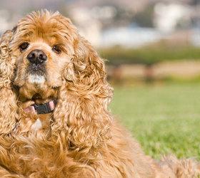 美国可卡犬|可卡,美卡,可卡獚,斗鸡獚