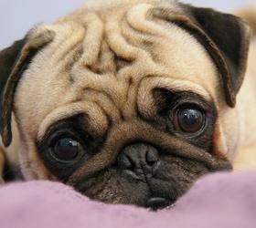 巴哥犬|巴哥,八哥,哈叭狗