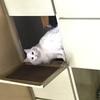 一只绝育母猫求领养