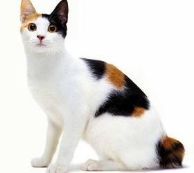 日本短尾猫|日本截尾猫|日短尾